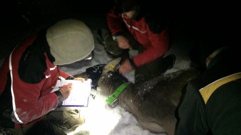 Das Team untersucht das Alttier Olivia